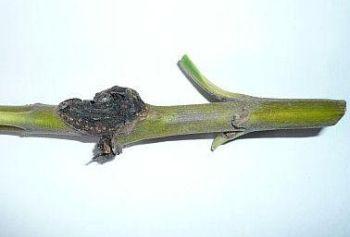 Oleandr pěstování