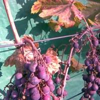 Vinná réva choroby a škůdci