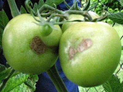 Škůdci rajčat