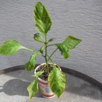 Choroby paprik