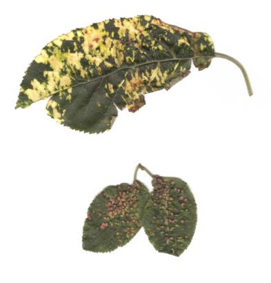 Škůdci na listech